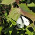 写真: 季節外れのモンシロチョウ