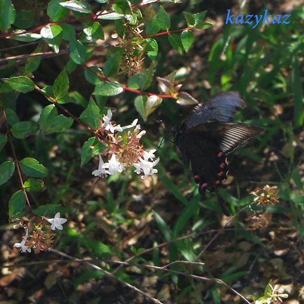 秋の朝陽に照る翅カラス