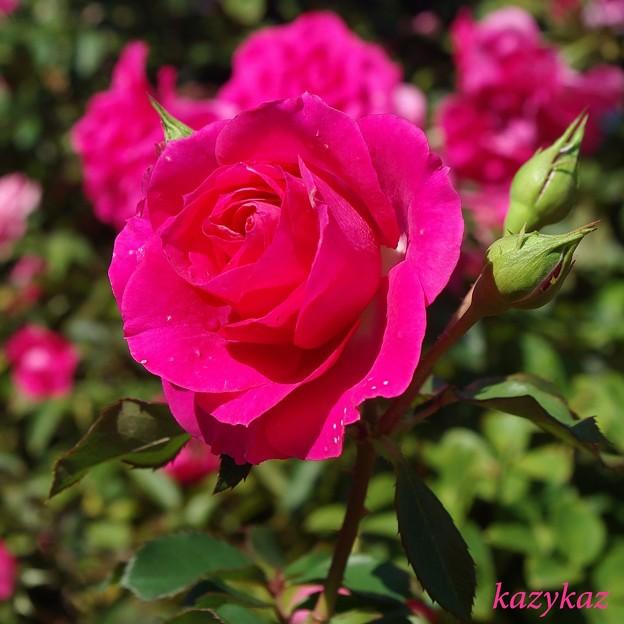 写真: 紅く咲くのは~