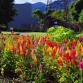 写真: 鶏頭畑 by FA43L