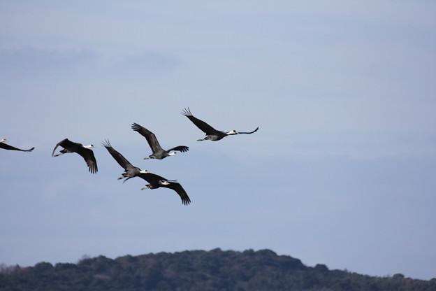 Photos: 飛ぶ鶴