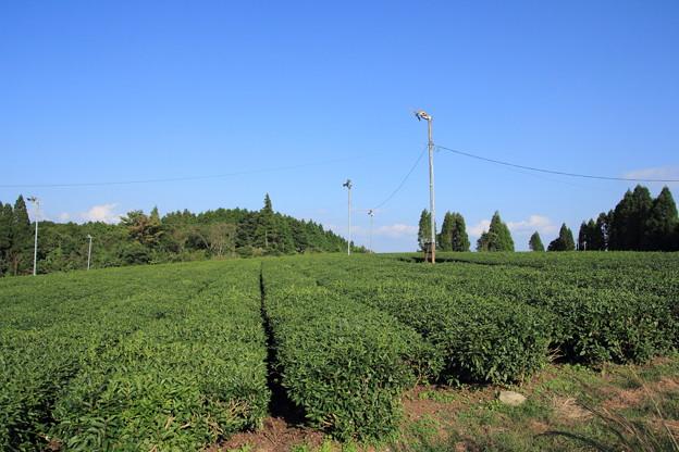 その横の茶畑