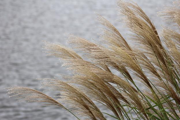 水俣川川岸のススキ
