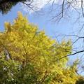 写真: いちょうの黄葉