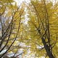 写真: いちょうの葉がぱらぱらと