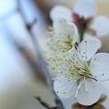 写真: 白梅が咲きだす