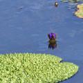 写真: 水中から出ている花