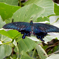 写真: ミヤマカラスアゲハチョウ