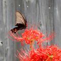 写真: クロアゲハチョウ