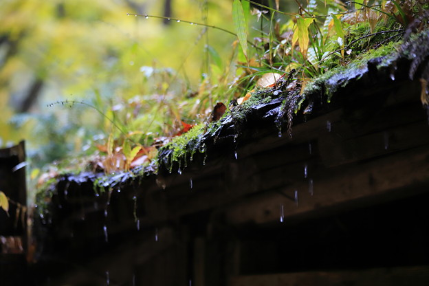 Photos: 時雨滴る
