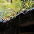 写真: 時雨滴る
