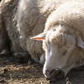 写真: One sheep is sleeping...