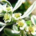 ハツユキソウの花