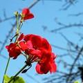 写真: 地味に咲き続ける花