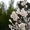 Photos: 山の桜