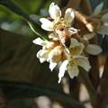 Photos: びわの花とミツバチ