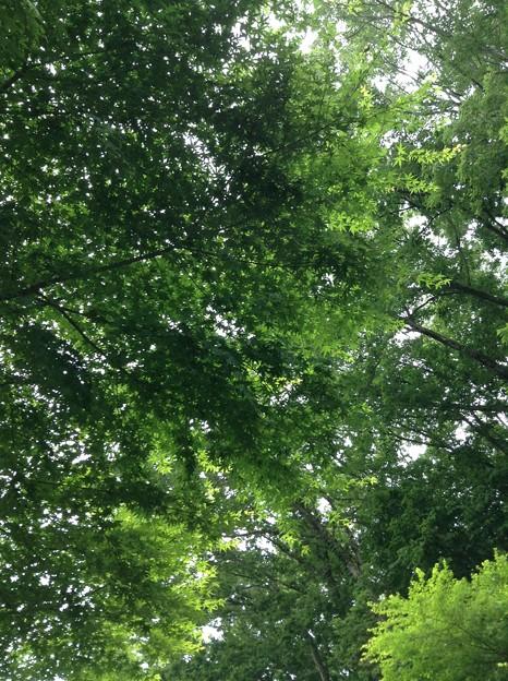 見上げれば、深緑(都内某所の自然2014・32)