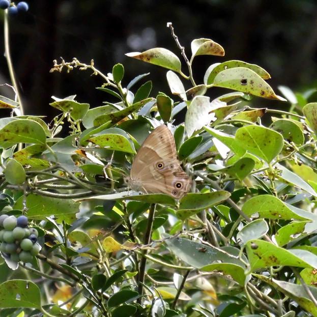 蝶> ナミ ヒカゲまたはヒカゲチョウ←0