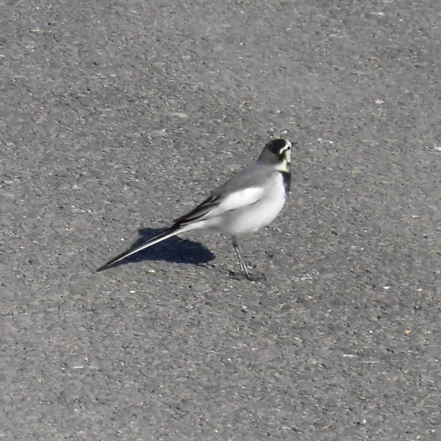 鳥> ハク セキレイ←8