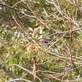 鳥> ムクドリか:柿をついばみに!←4