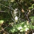 蜘蛛> ジョロウ グモめす←6 (2)