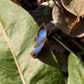 蝶> ムラサキ シジミ:12月上旬に撮りました←0