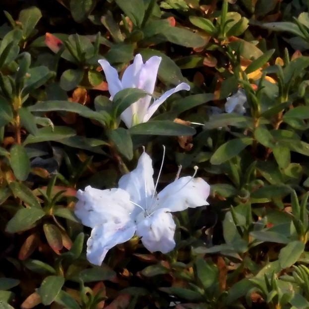花> ツツジの類:12月上旬に撮りました←2 (2)