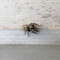 蜘蛛> ネコ ハエトリ←2