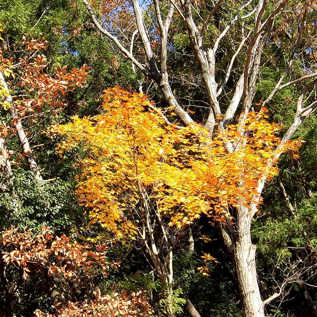 写真: 黄葉> モミジの類:山の崖上に←3