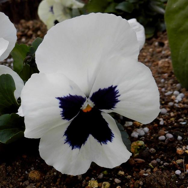 花> パンジーか:大きくて直径10cm超ほど!色もいろいろ←5