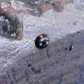 こう虫> ナミ テントウ2紋型:12月上旬に撮りました←6