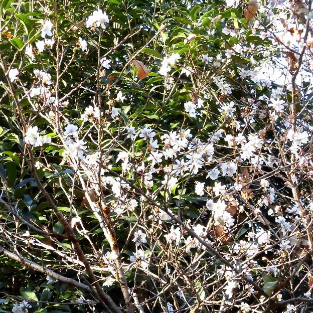 花> サクラの類:12月中旬に撮りました←8