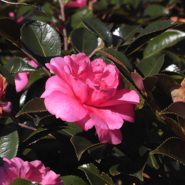 花> カン ツバキ(と名札)←8
