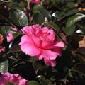 写真: 花> カン ツバキ(と名札)←8