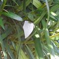 写真: 蝶> ウラギン シジミ:イヌ マキの葉裏に12月中旬に撮りました←1