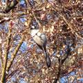 写真: 鳥> エナガ←8