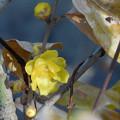 Photos: 花> ソシン ロウバイ:黄葉と12月下旬に撮りました←z