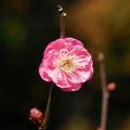 Photos: 花> ウメ.:紅梅:12月下旬に撮りました←z
