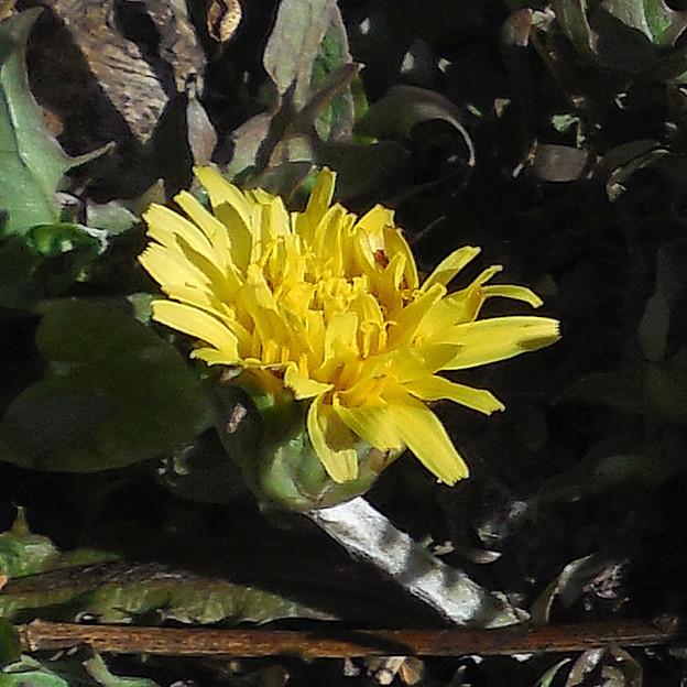 花> ニホン タンポポ:1月中旬に撮りました←8