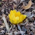 写真: 花> フクジュソウ:1月中旬に撮りました←8