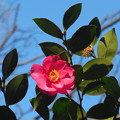写真: 花> サザンカ←9