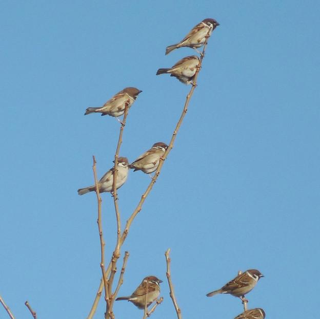 鳥> スズメ:群れて!←1 (3)