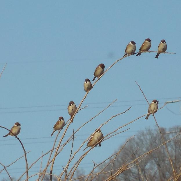 鳥> スズメ:群れて!←1