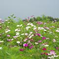 写真: コスモスの開花