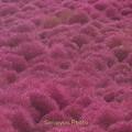 写真: 真っ赤なコキアの丘