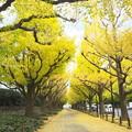写真: 神宮外苑銀杏並木