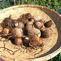 Photos: 収穫野菜1