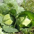 Photos: 収穫野菜4