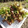 写真: 収穫野菜5