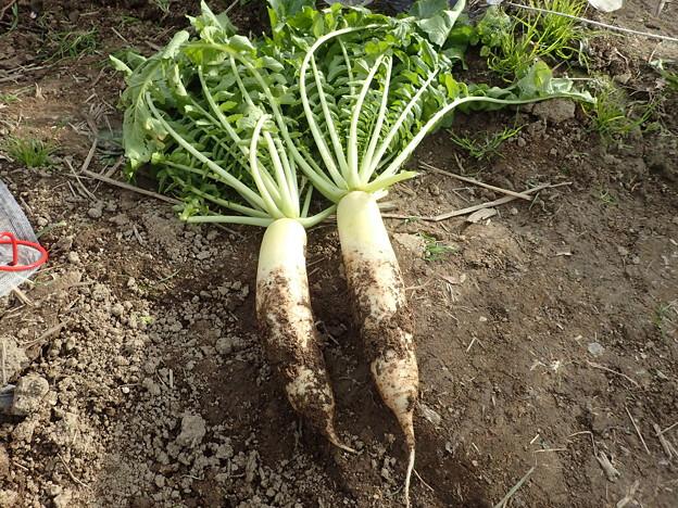 収穫野菜1